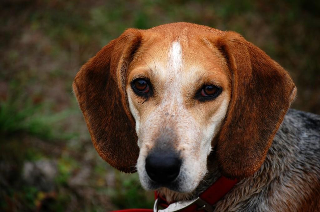 Wie Hunde hören - Beagle