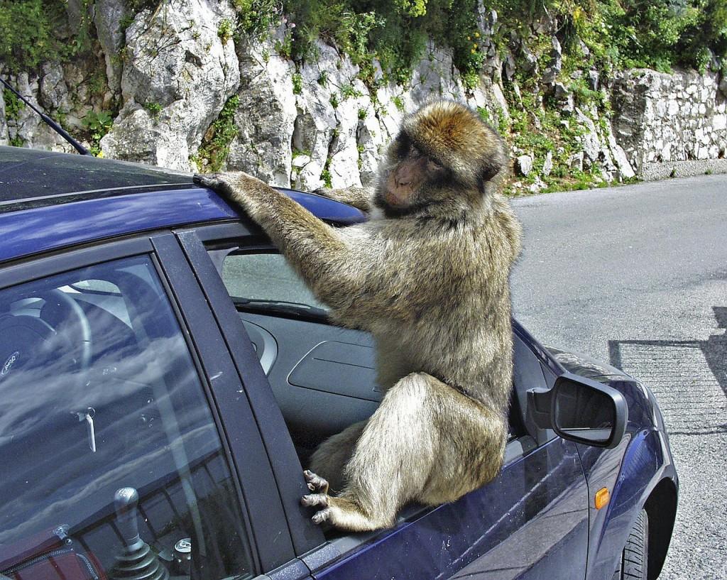 Startklar: Ein Affe am Auto