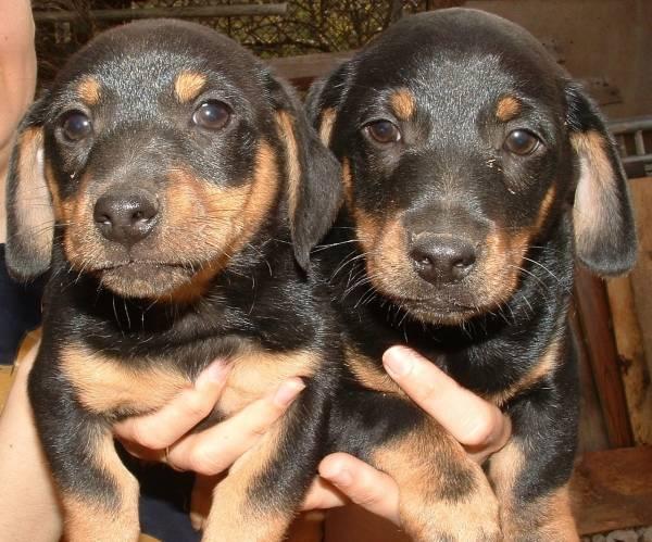Hund kaufen: Dackelwelpen